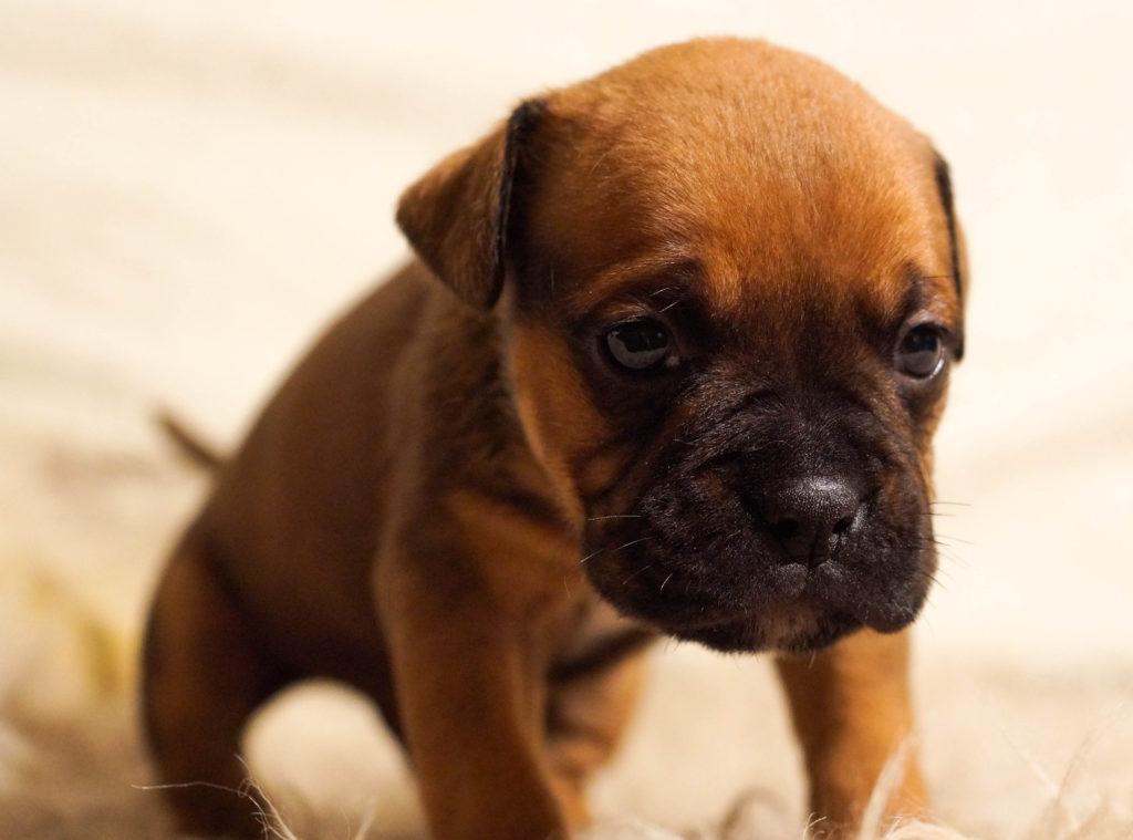 Cuida a tu perro del síndrome braquiocefálico